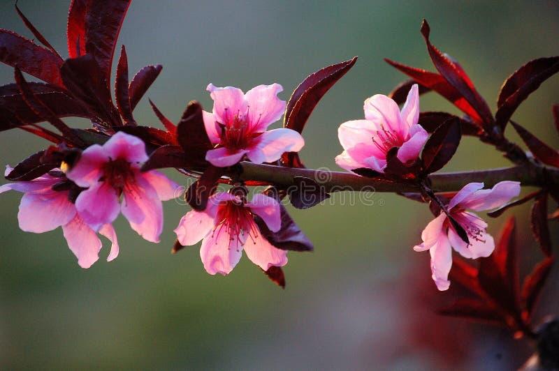 Un ramo dei fiori rosa della pesca fotografia stock