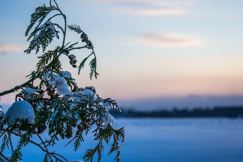 Un ramo del cedro con neve e ghiaccio fotografia stock libera da diritti
