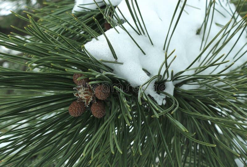 Un ramo del pino nella neve fotografie stock libere da diritti