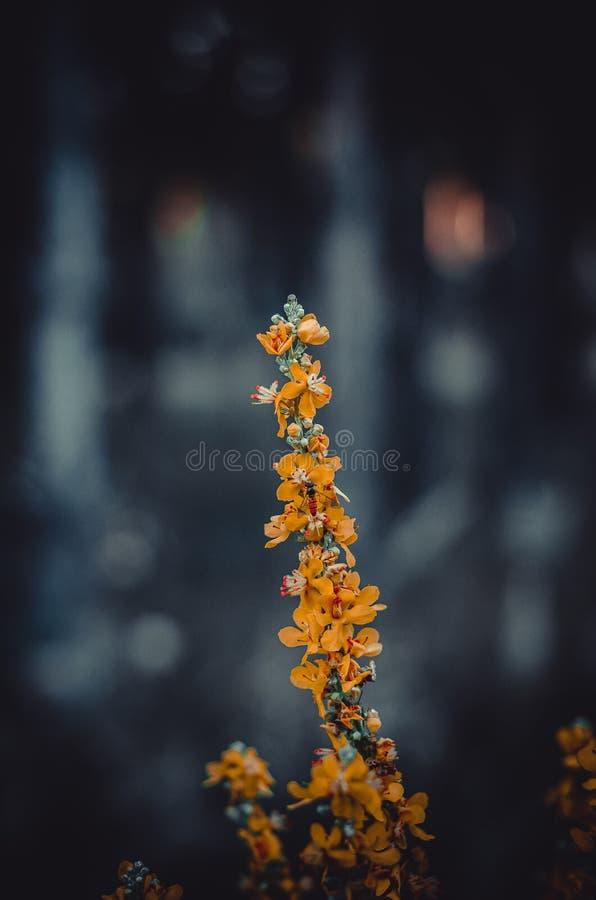 Un ramo dell'erba della foresta con i fiori arancio luminosi Poca ape a mala pena notevole fra i fiori Macro Appena prima l'alba fotografie stock