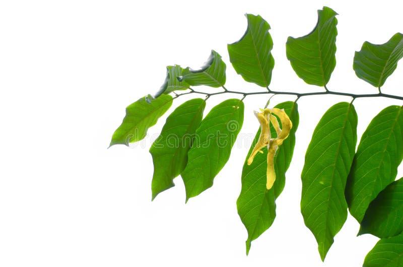 Un ramo dell'ylang ylang verde va con il suo fiore giallo isolato su fondo bianco fotografia stock libera da diritti