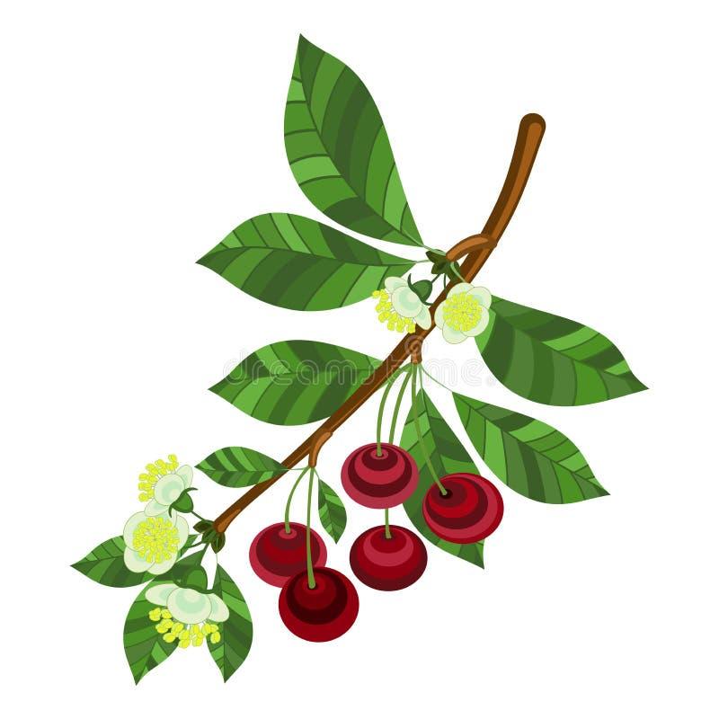 Un ramo della ciliegia con le bacche, i fiori e le foglie rossi royalty illustrazione gratis