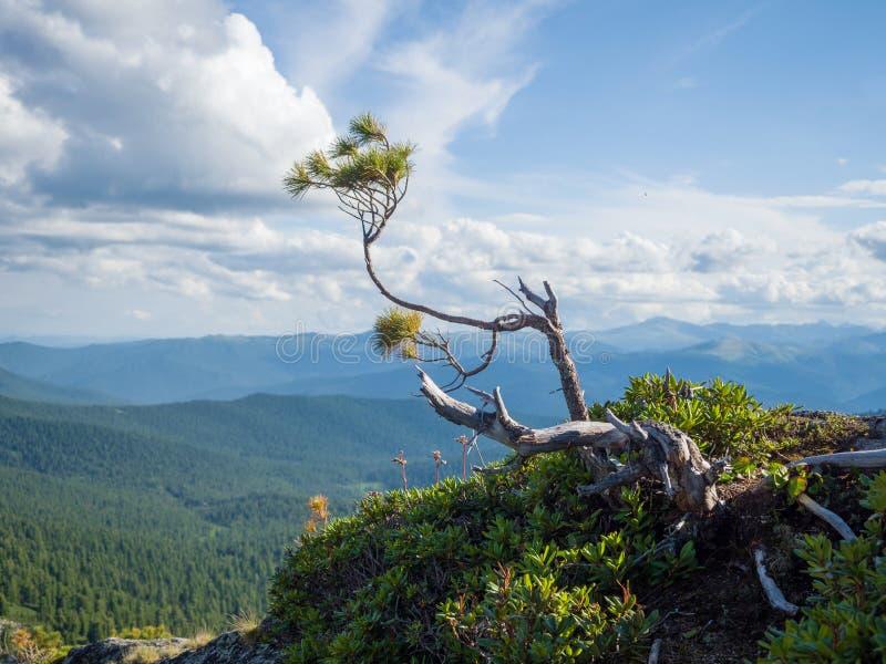 Un ramo di cedro siberiano sopra una montagna in un parco naturale Ergaki immagine stock