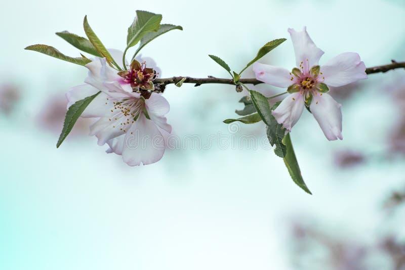 Un ramo di un mandorlo meravigliosamente sbocciante Piccoli fiori rosa bianchi del primo piano con gli stami e le foglie gialli F fotografia stock libera da diritti