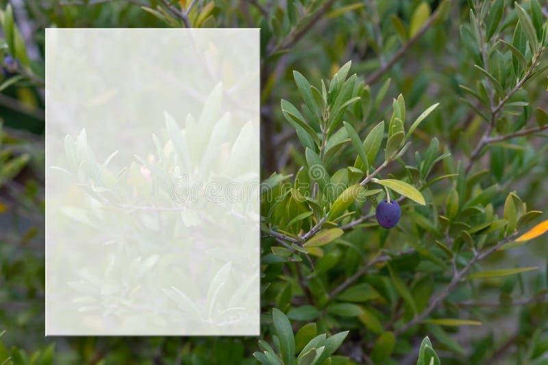 Un ramo di olivo con le olive Fuoco molle Ramo di ulivo e fondo confuso Modello trasparente per il contenuto Copi lo spazio immagini stock libere da diritti
