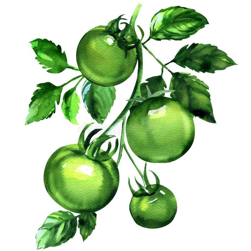 Un ramo di quattro pomodori verdi con le foglie, verdure organiche fresche, illustrazione sopra isolata e disegnata a mano dell'a illustrazione vettoriale