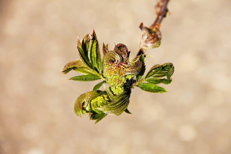Un ramo di un albero giovane, ago verde intenso di un primo piano dell'albero di cedro su un fondo vago immagine stock libera da diritti