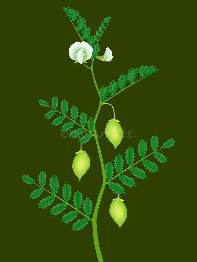 Un ramo di una pianta di cece con i baccelli verdi ed i fiori bianchi illustrazione vettoriale
