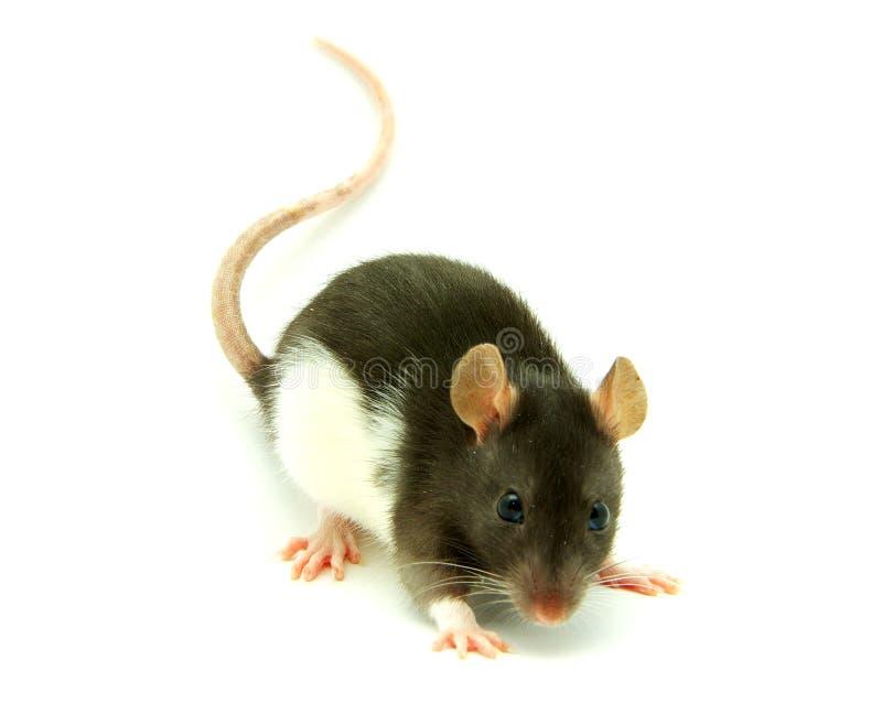 Un rat photo stock