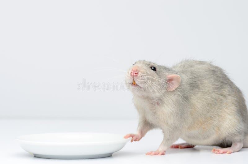 Un rat argenté assis à côté d'une soucoupe blanche attend sa nourriture Fermeture de Rat photos stock