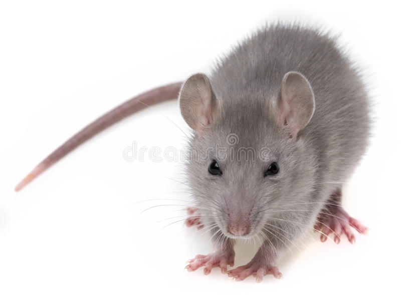Un rat gris images stock