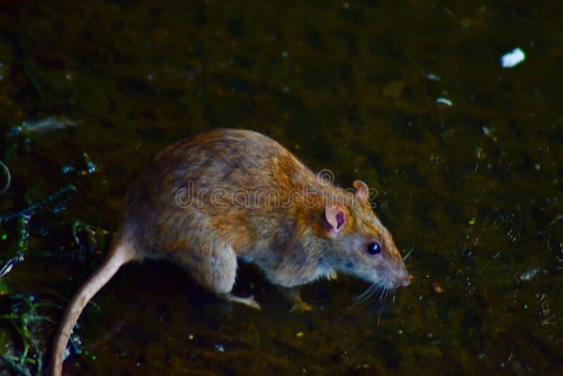 Un rat sur le vagabondage photo libre de droits