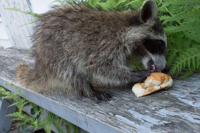 Un raton laveur de bébé mangeant un sandwich sur un banc photographie stock