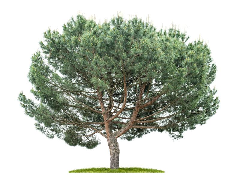 un ?rbol de pino aislado en un fondo blanco foto de archivo libre de regalías