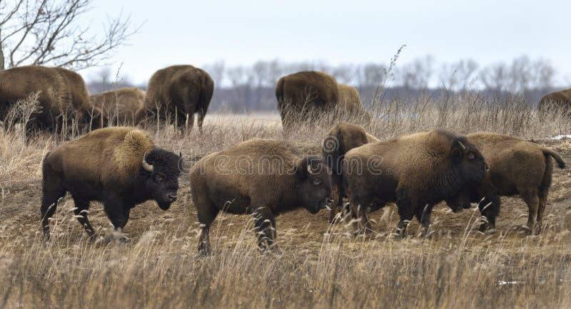 Un rebaño de bisontes a principios del invierno imagenes de archivo