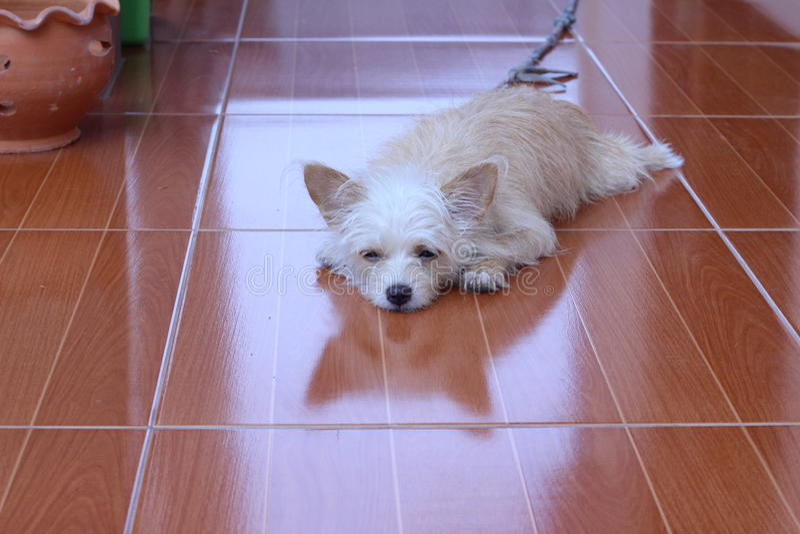 Un regard brun et blanc de chien images stock