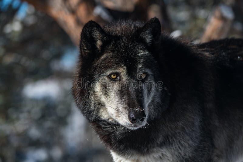 Un regard fixe de loup de bois de construction image libre de droits