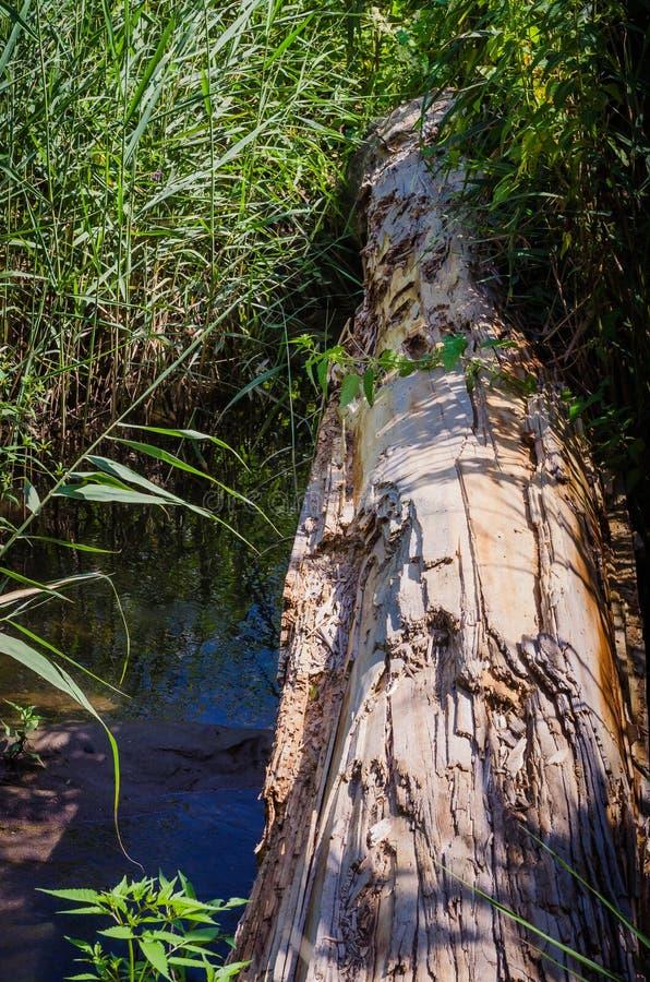 Un registro grueso se lanza a través de un pequeño río Los bancos se crecen demasiado con las altas cañas foto de archivo