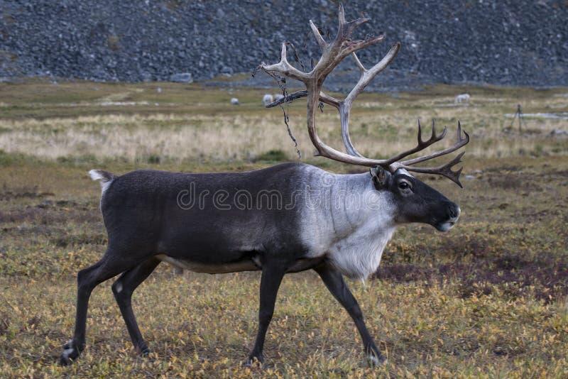 Un renne solitaire fonctionnant sur la toundra photographie stock libre de droits