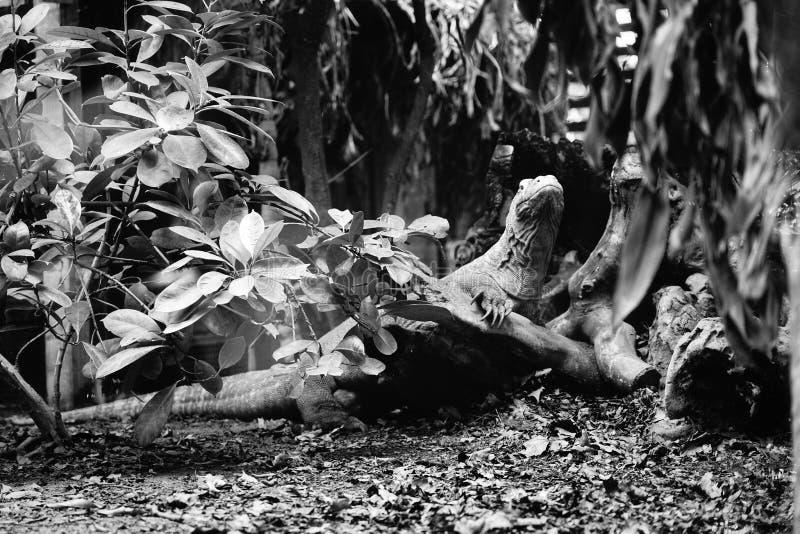 Un reptile dans son habitat naturel images stock