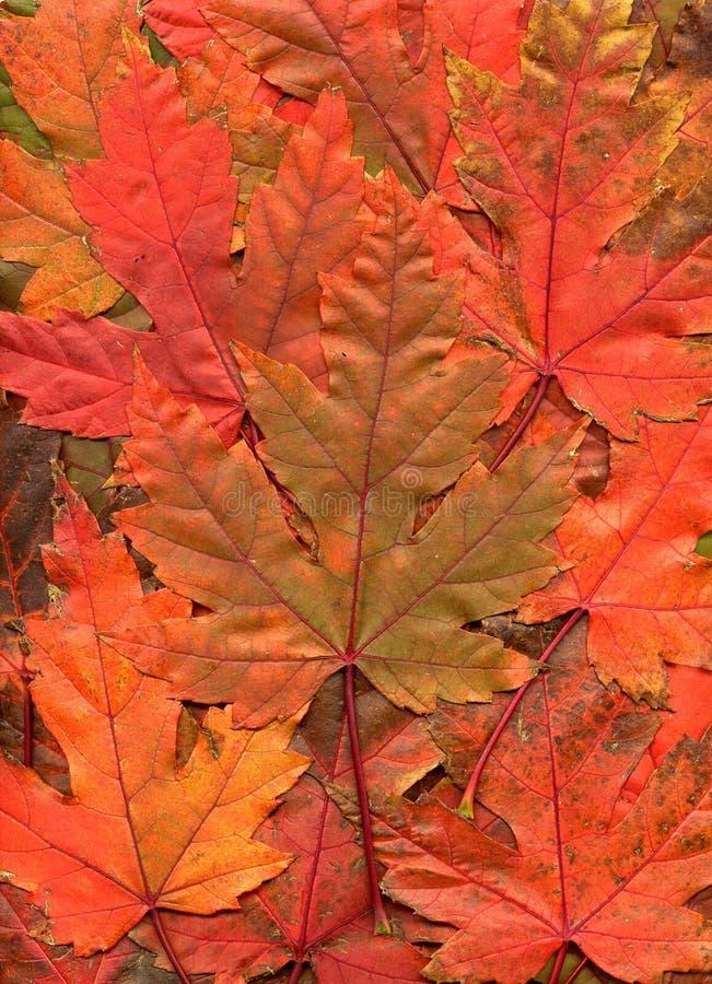 Un reticolo del leav rosso ed arancione luminoso dell'acero di caduta immagine stock libera da diritti