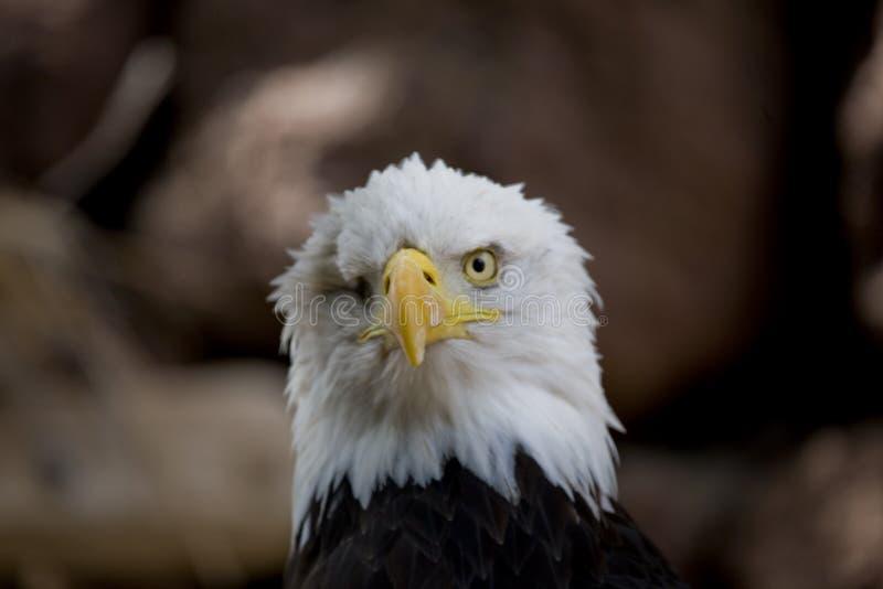 Un retrato de un ave rapaz American Eagle en un fondo beige neutral fotografía de archivo