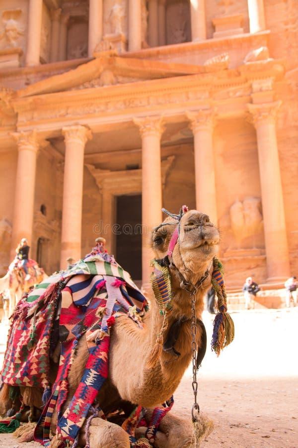 Un retrato de un camello en el Petra imagen de archivo