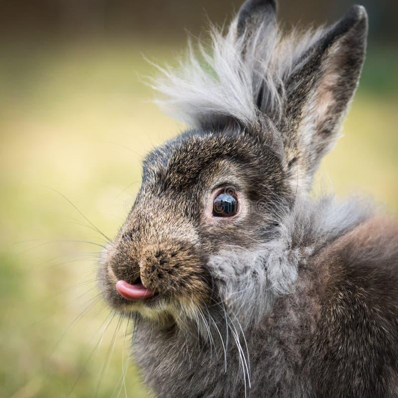 Un retrato de un conejo del enano marrón fotos de archivo libres de regalías