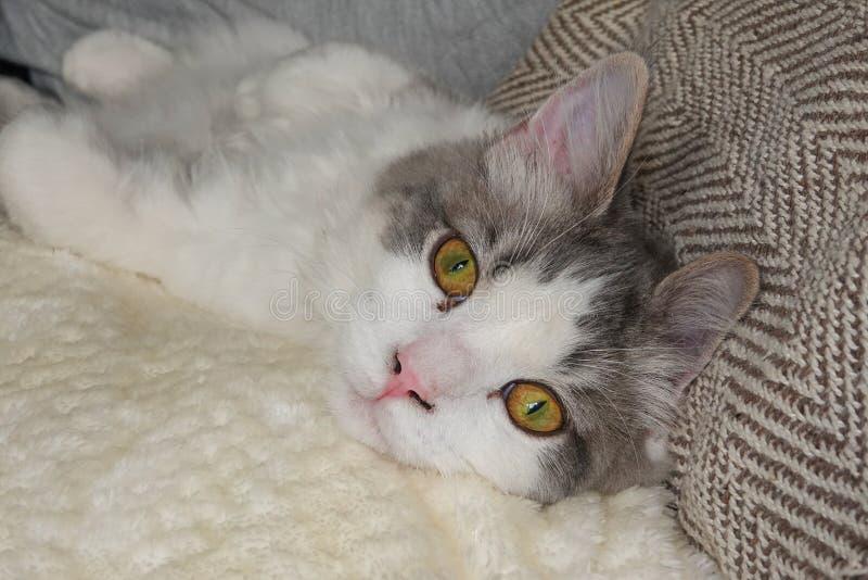 Un retrato de un gato nacional del Ragamuffin de pelo largo fotos de archivo