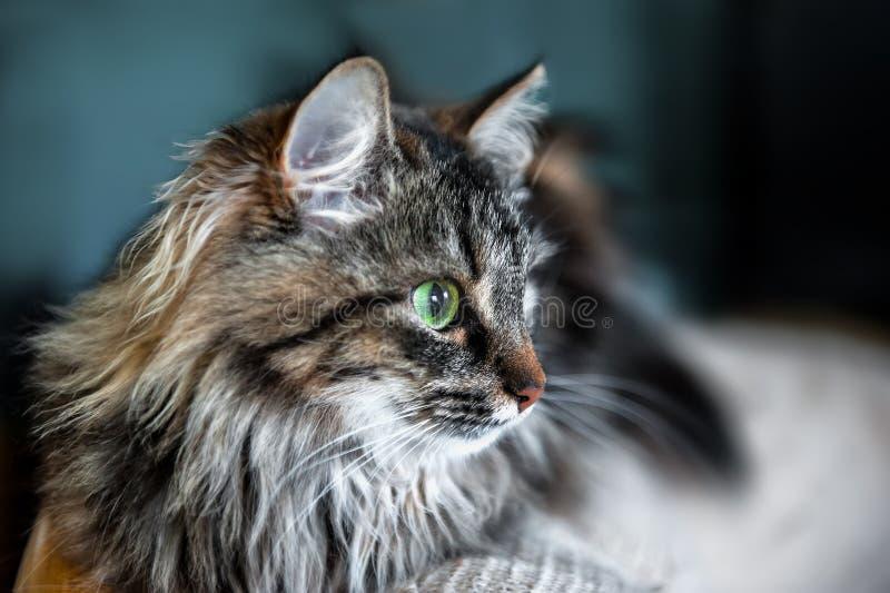 Un retrato de los gatos siberianos rusos Cierre para arriba Copie el espacio fotos de archivo
