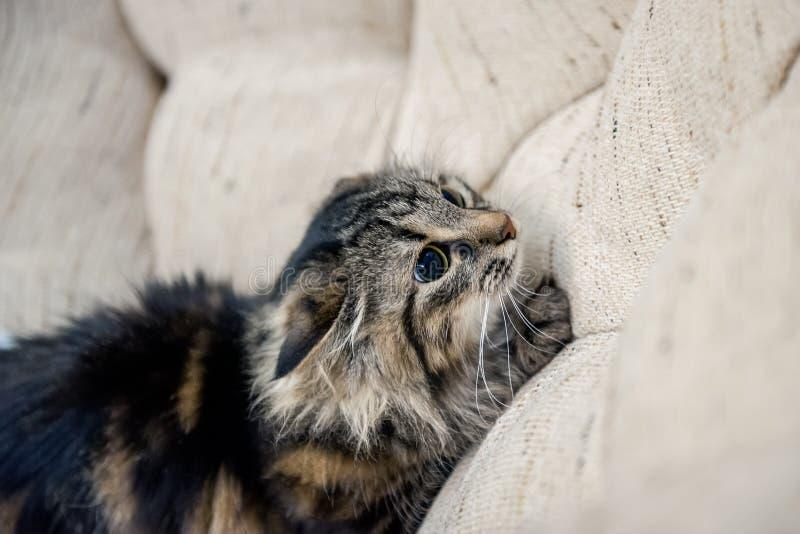 Un retrato de los gatos siberianos rusos El gato se está preparando para saltar Copie el espacio imagen de archivo