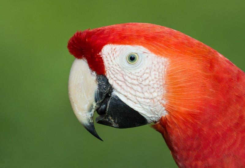 Un retrato de un macaw hermoso del escarlata fotos de archivo