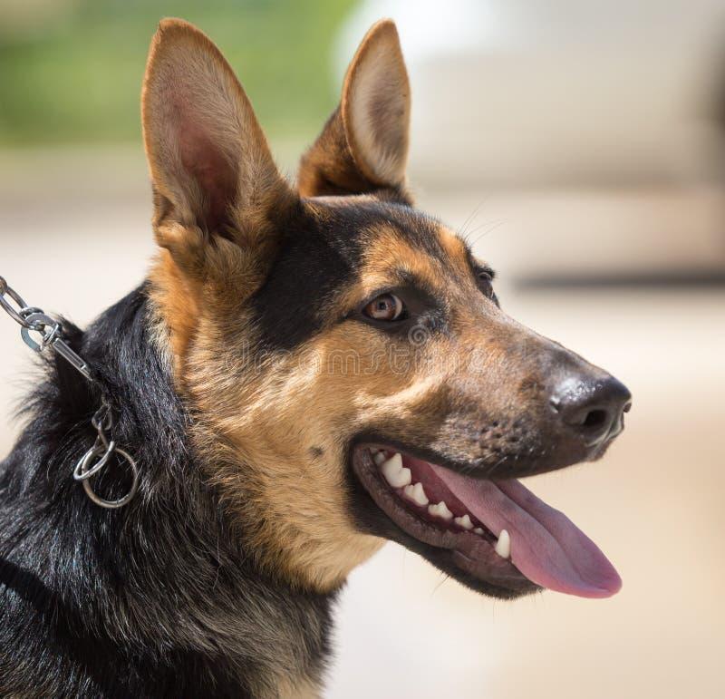 Un retrato de un perro excelente fotos de archivo libres de regalías