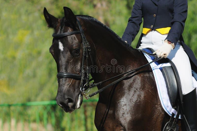 Un retrato del caballo del dressage foto de archivo libre de regalías