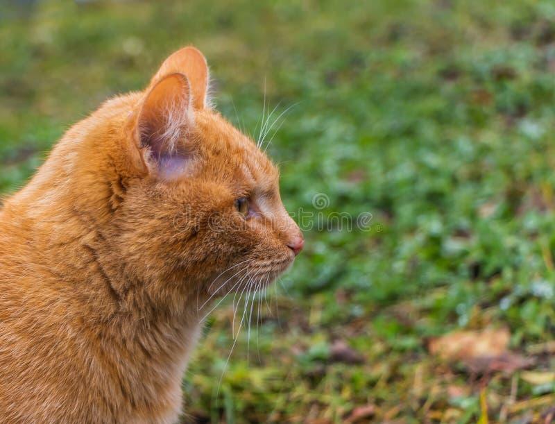 Un retrato del perfil de un gatito rojo brillante hermoso con los ojos amarillos y la nariz rosada en un verde y un fondo amarill imagen de archivo