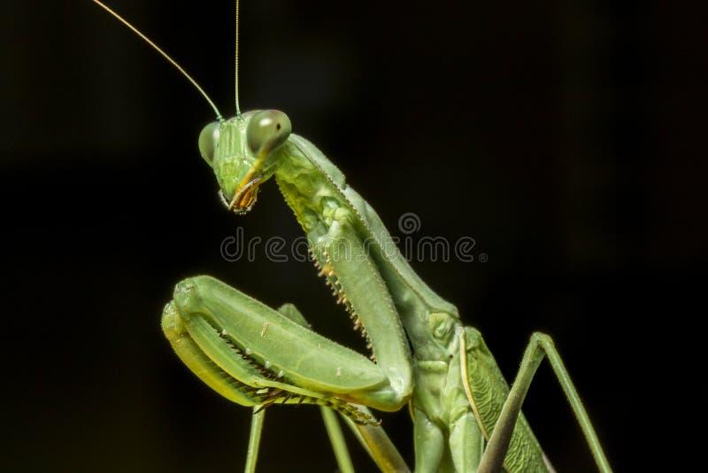 Un retrato macro de la mantis religiosa imagen de archivo