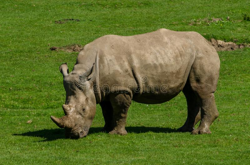 Un rhinocéros blanc photographie stock