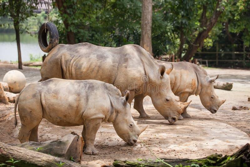 Un rhinocéros blanc de marche image stock