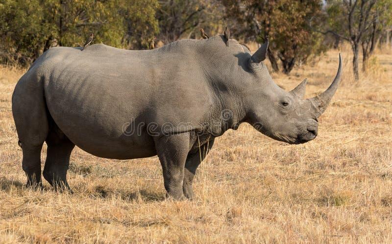 Un rhinocéros debout image stock