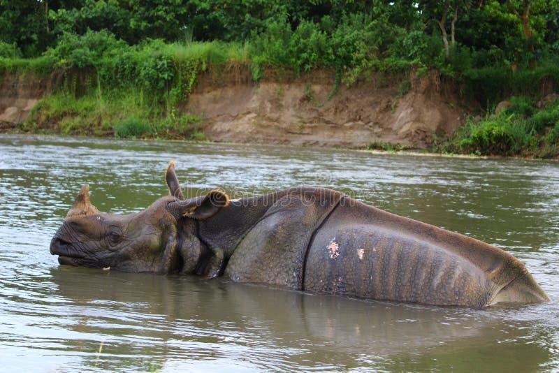 Un rhinocéros en rivière photos libres de droits