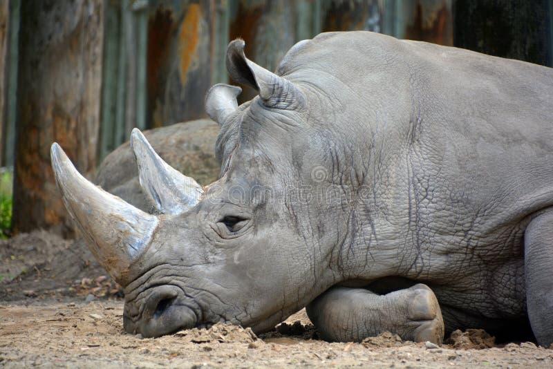 Un rinoceronte fotografia stock libera da diritti