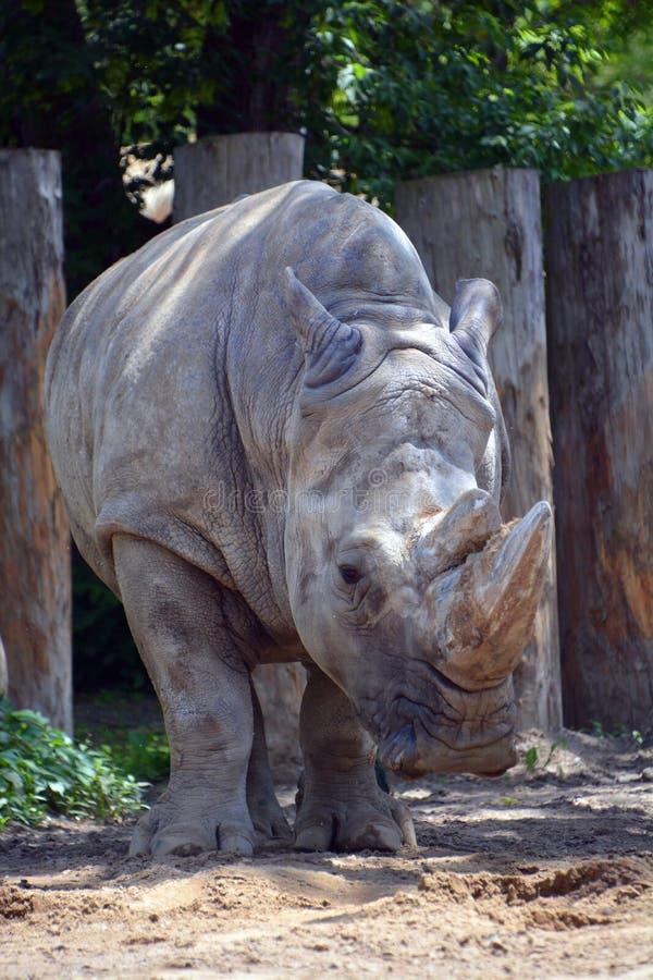Un rinoceronte fotografie stock libere da diritti