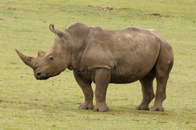 Un rinoceronte bianco alla riserva di Boteilierskop fotografia stock libera da diritti