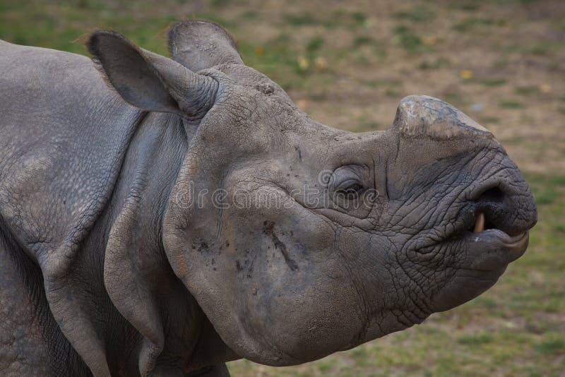Un rinoceronte bianco senza suo corno fotografia stock