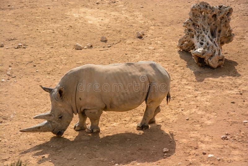 Un rinoceronte bianco (simum del Ceratotherium) fotografia stock