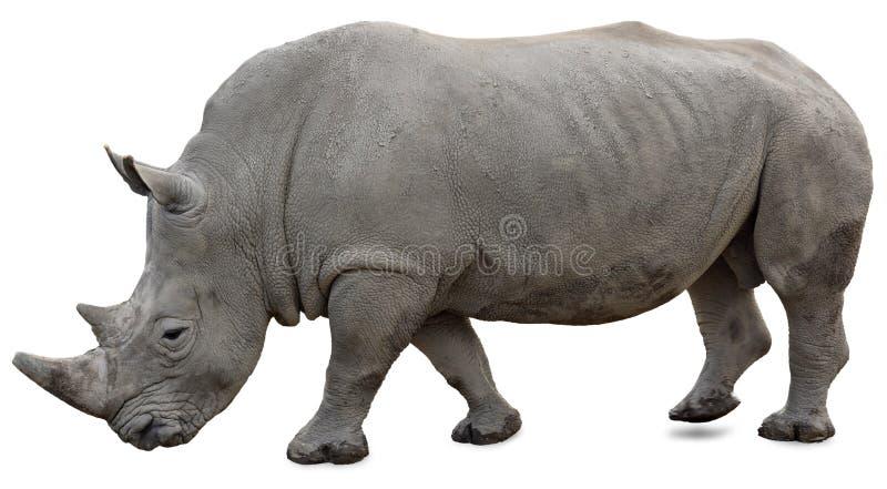 Un rinoceronte bianco su una priorità bassa bianca fotografie stock libere da diritti