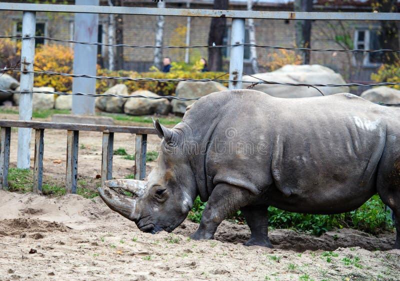 Un rinoceronte/un rinoceronte blancos fotos de archivo libres de regalías