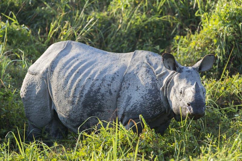 Un rinoceronte cornuto immagine stock libera da diritti
