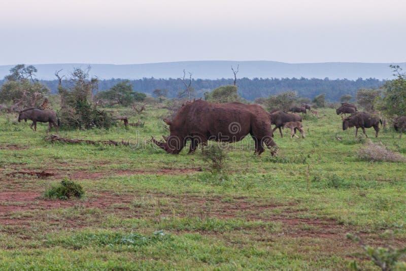 Un rinoceronte davanti ad un gregge dello gnu blu fotografia stock