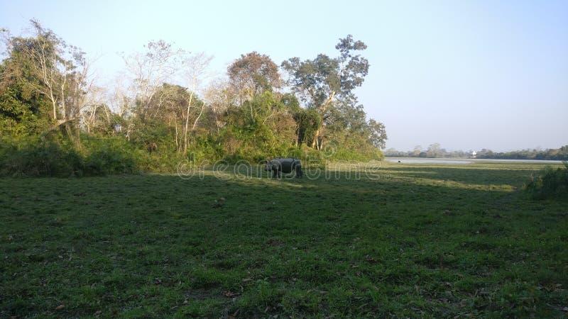Un rinoceronte de cuernos de Kaziranga imagen de archivo libre de regalías
